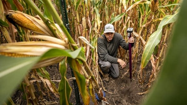 A man kneels towards the ground in a cornfield.