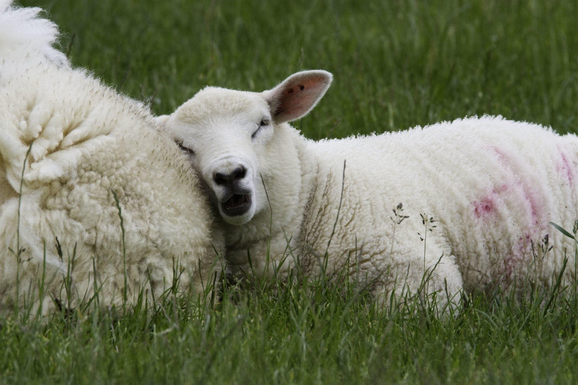 Edinburgh - 32 - Sheep
