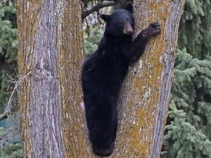 A black bear climbs a tree in downtown Duluth on May 6, 2015.