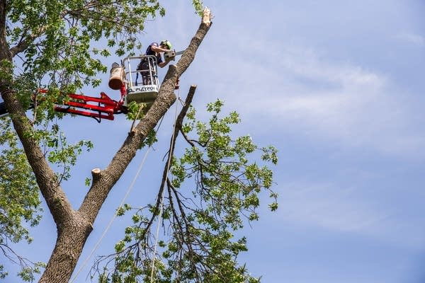 Jordan Carlson trims an ash tree.