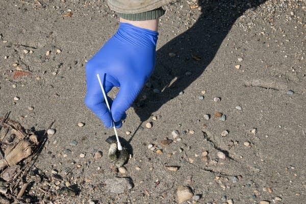 Kent Schaap swabed a goose fecal sample.