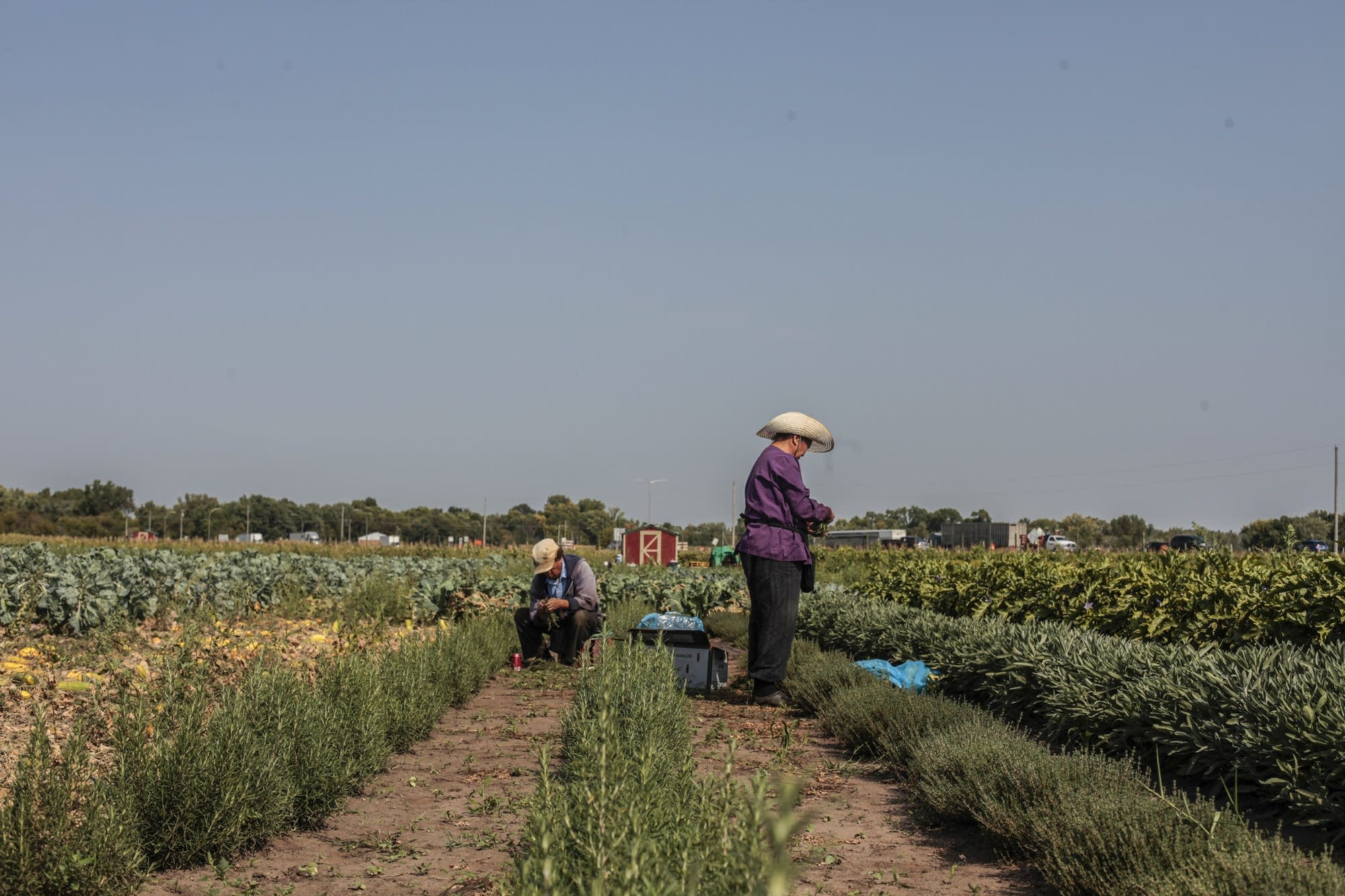 Chao Tamoua and Mao Moua pick rosemary from their land at Hafa Farms.