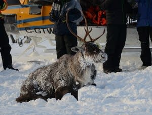 Officials brought nine caribou to the Slate Islands last weekend.