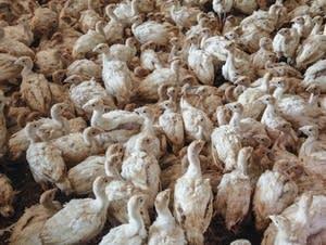 John Zimmerman raises thousands of turkeys on a farm in Northfield, Minn.