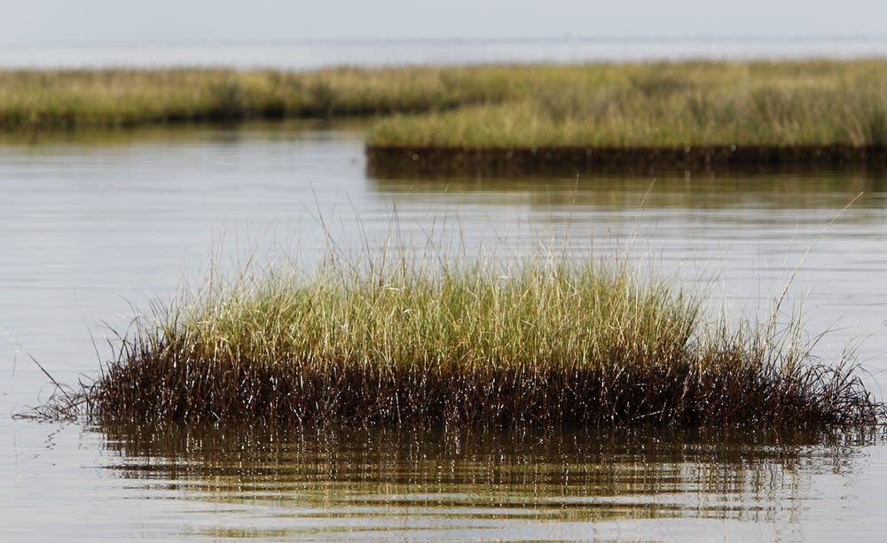 Oiled marsh grass
