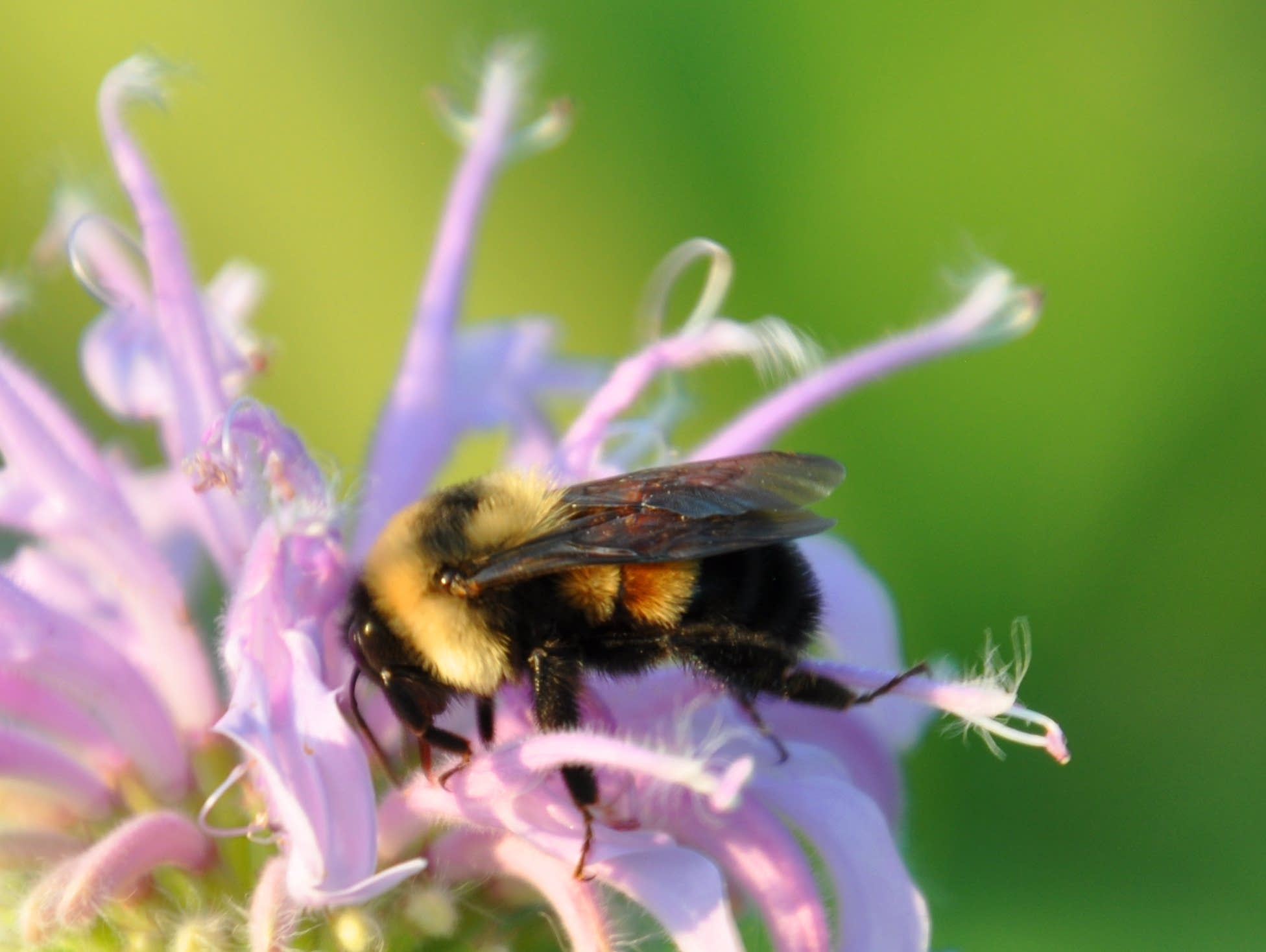 MN to Pay Homeowners to Transform Lawns into Bumblebee Gardens