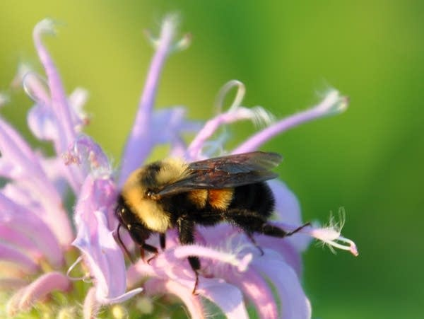 A rusty patched bumble bee on wild bergamot