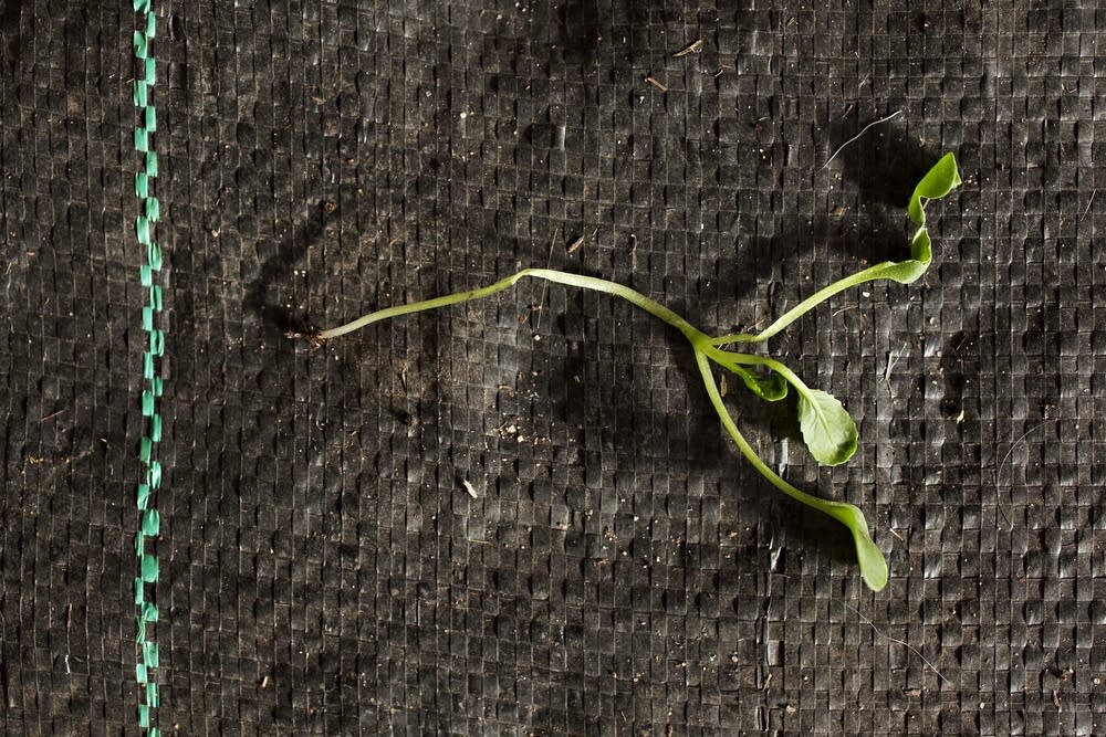 Komatsuna plant