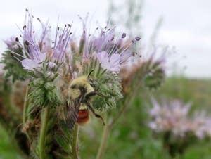 A bee gathers pollen from a flower in a field near LaMoure, N.D.