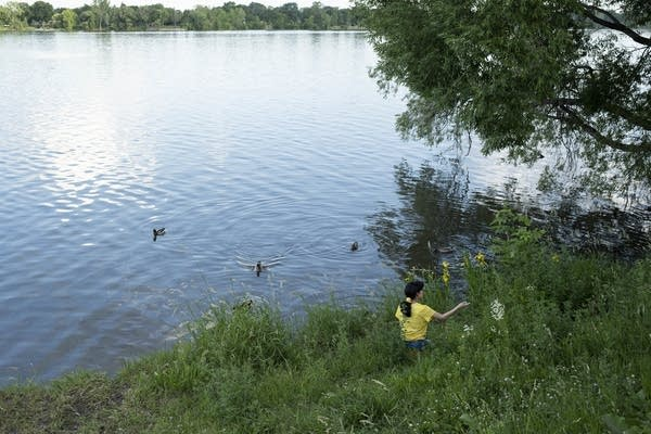 A girl tosses seeds to ducks at a lake.