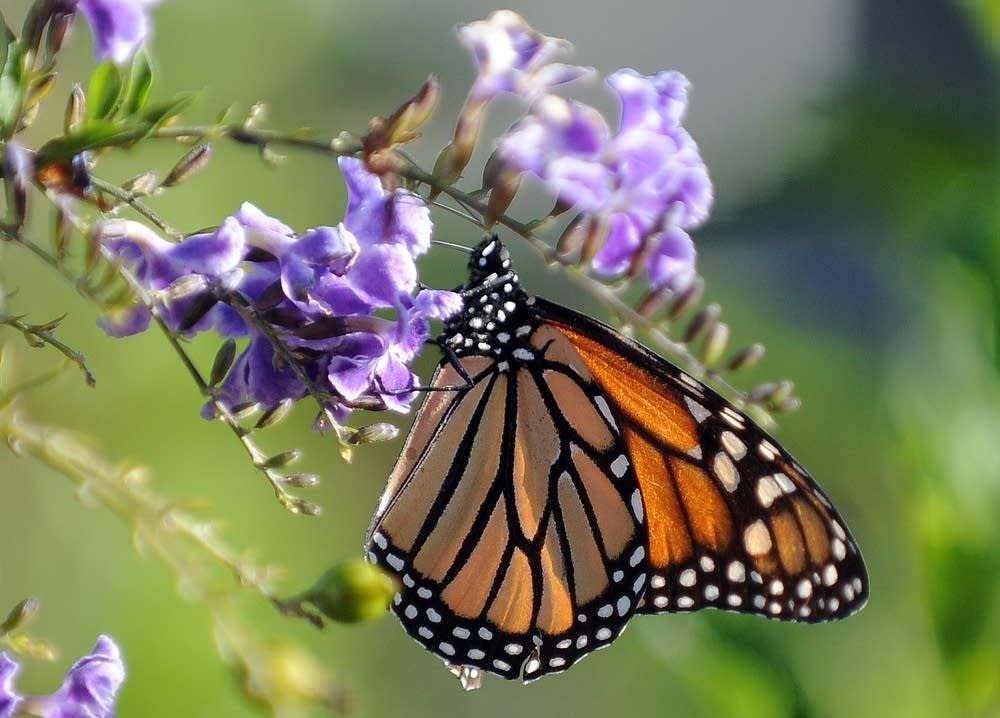 A monarch butterfly in California