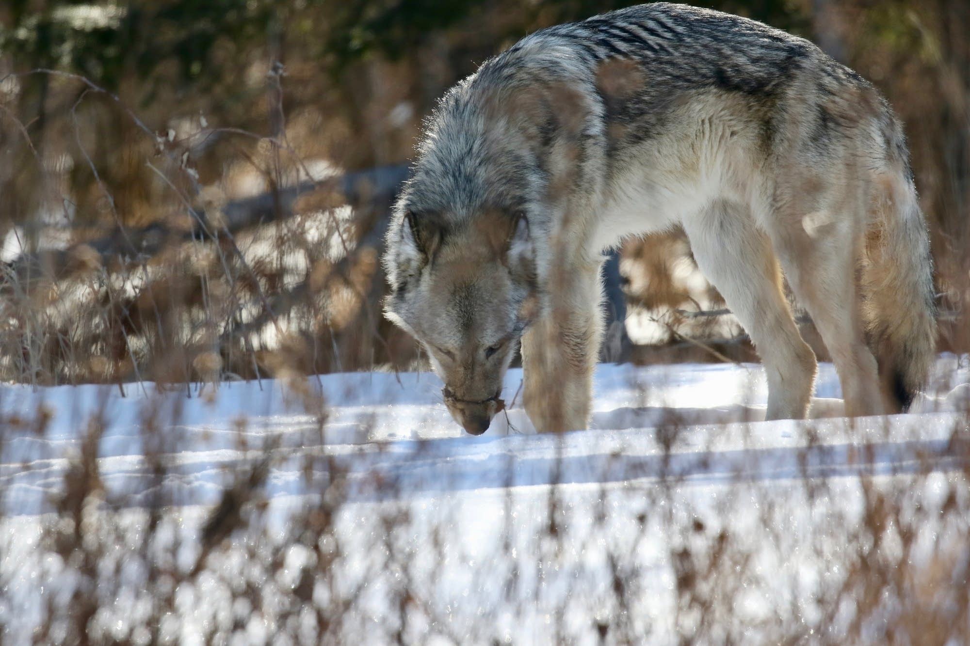 duluth cop in 39 last resort 39 fatally shoots wolf that was hurt by snare minnesota public. Black Bedroom Furniture Sets. Home Design Ideas