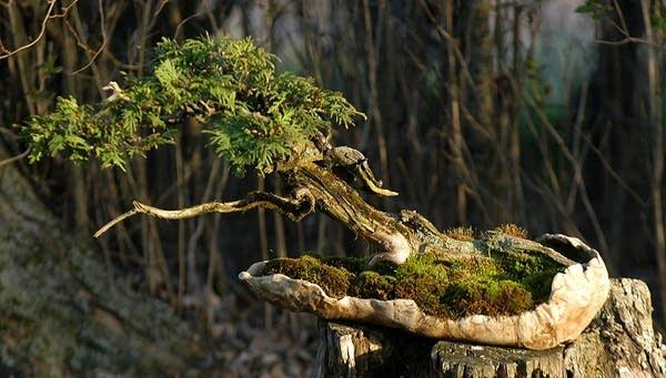 Crust calls this piece The Lichen Tree, an American white cedar.