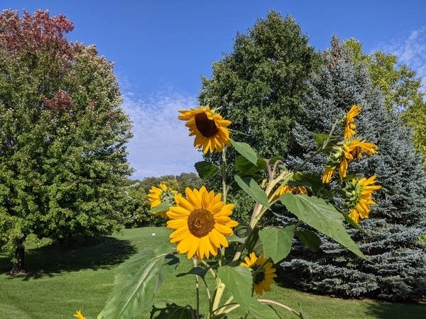 Sunflowers and a September sky at the Weather Lab