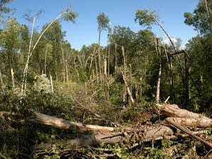 Downed trees near Pillsbury State Forest.