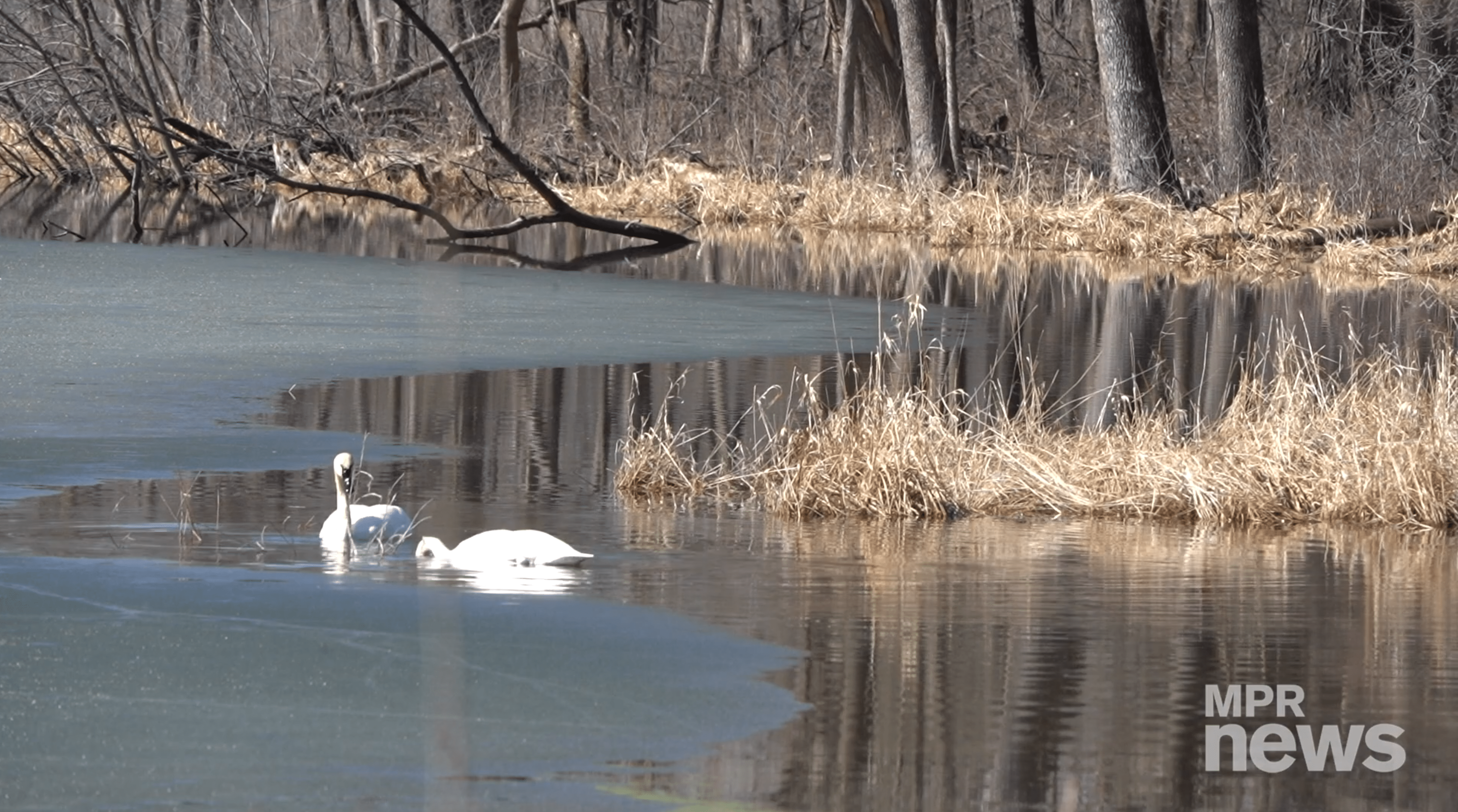 Two swans on a lake.