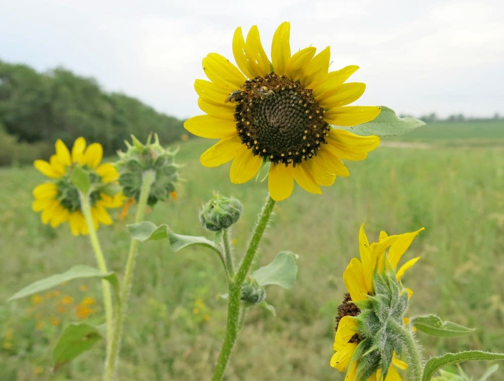 A sunflower rose above other plants in a field.