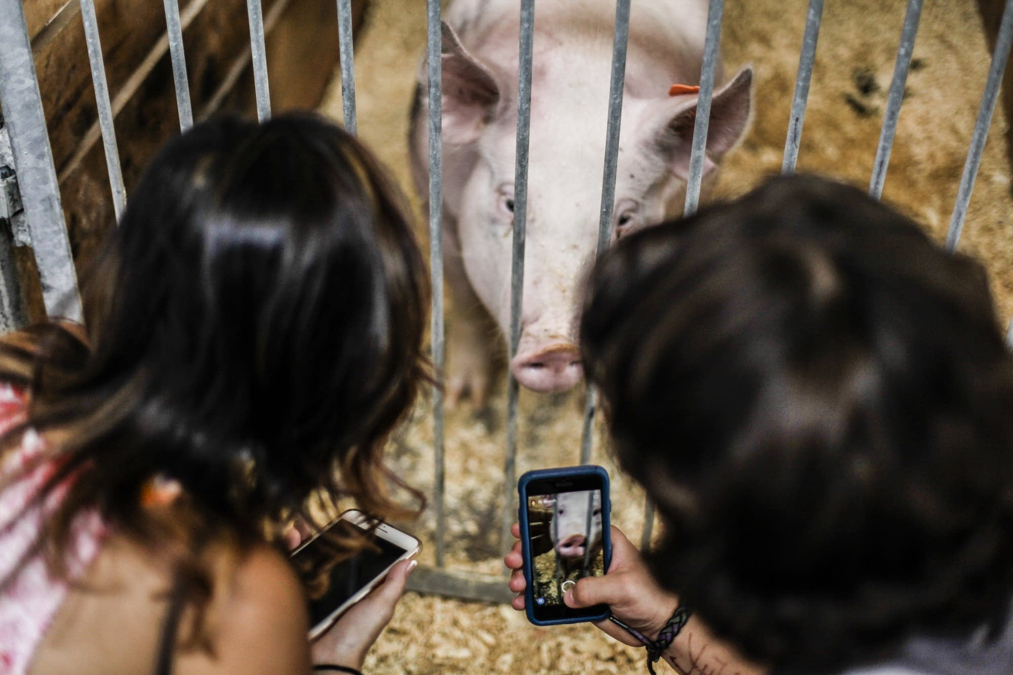 Pigs on snapchat and on camera.