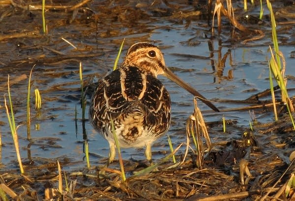 A Wilson's snipe at the Morris Wetland Management District.
