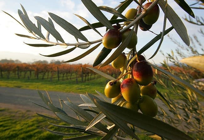 Coratina olives in California