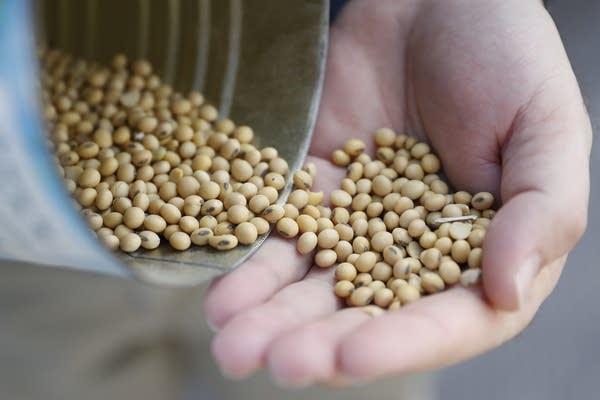 Matt Aultman shows locally grown soybeans.
