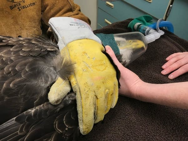 The bird receives anesthesia through a mask while staff examine it.