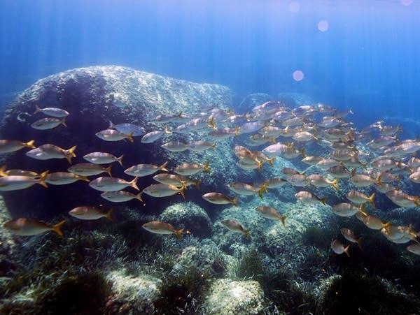 Mediterranean bream fish