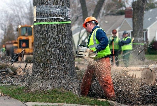 Cutting ash trees
