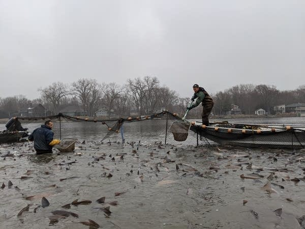 People on boats pull nets with fish out of a river.