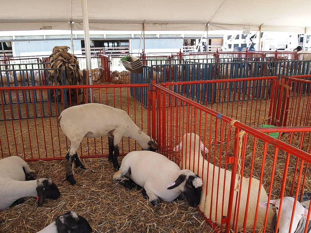 Sheep at the Steele County Free Fair