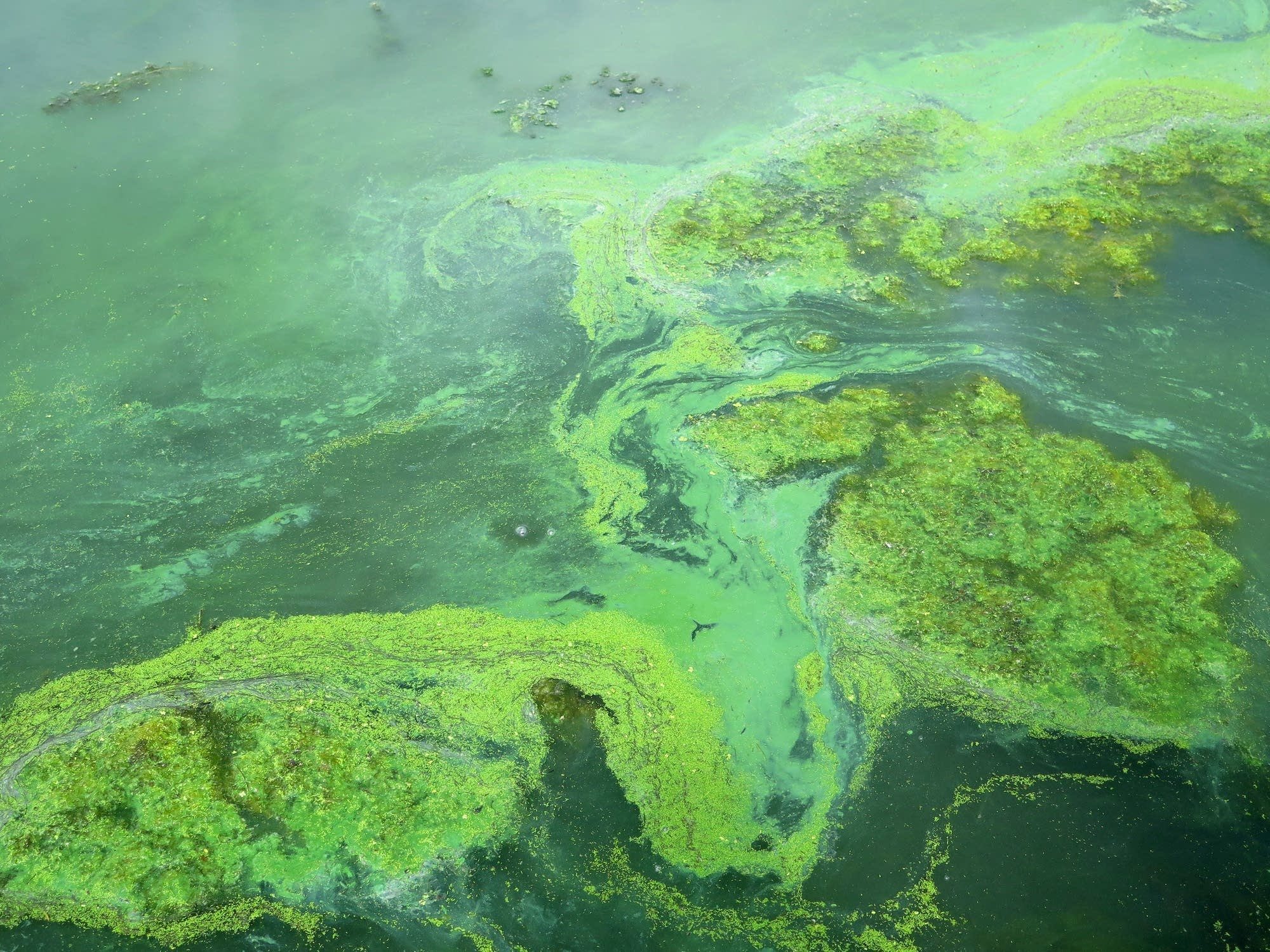 When lake temperatures warm, blue-green algae thrives.