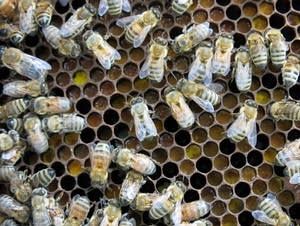 Honey bees crawled across pollen stored in a frame
