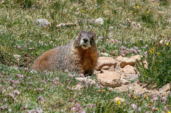 A yellow-bellied marmot keeps an eye out while it gets a bite to eat.