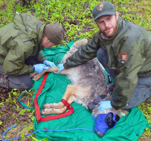 Austin Homkes, left, draws blood from a wolf's leg.