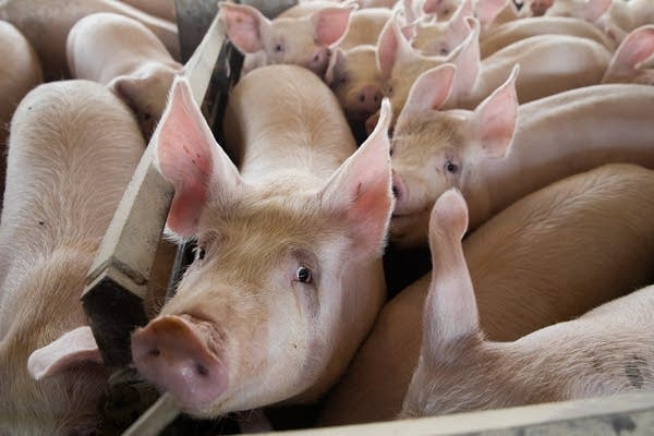 A pigs looks up at the camera.
