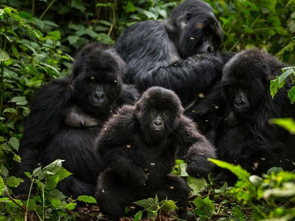 Gorillas of Congo