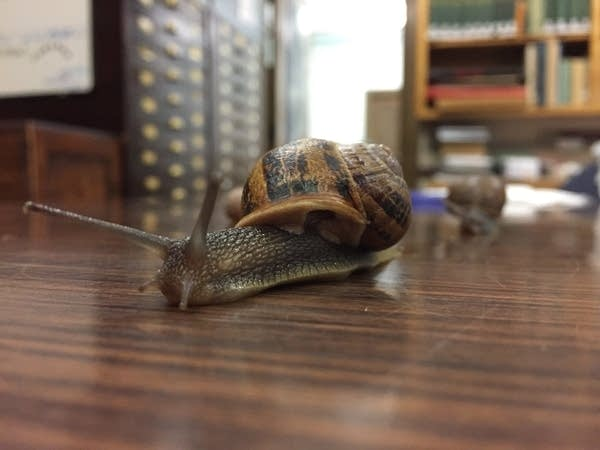Sandy, the sinistral snail