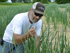 Russ Swenson in his quarter-acre garlic field near Clinton, Minn.