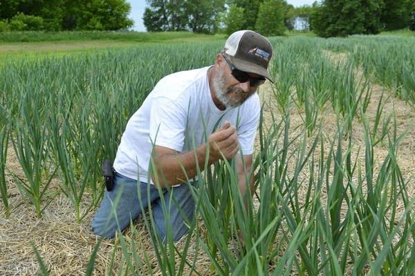 Russ Swenson in his quarter-acre garlic field near Clinton, Minn.