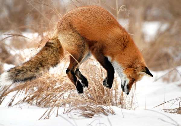 Fox pounces