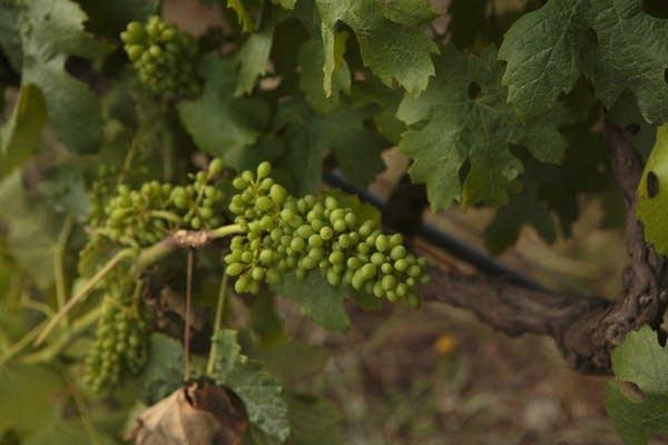 Grapes at Reyneke Organic Wine