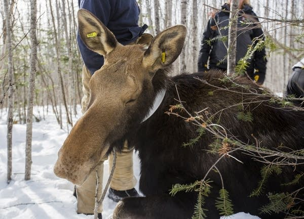 Researchers test a sedated moose.