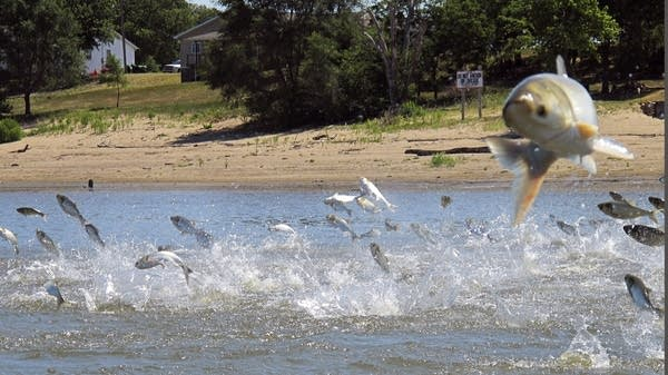 Asian Carp Mississippi