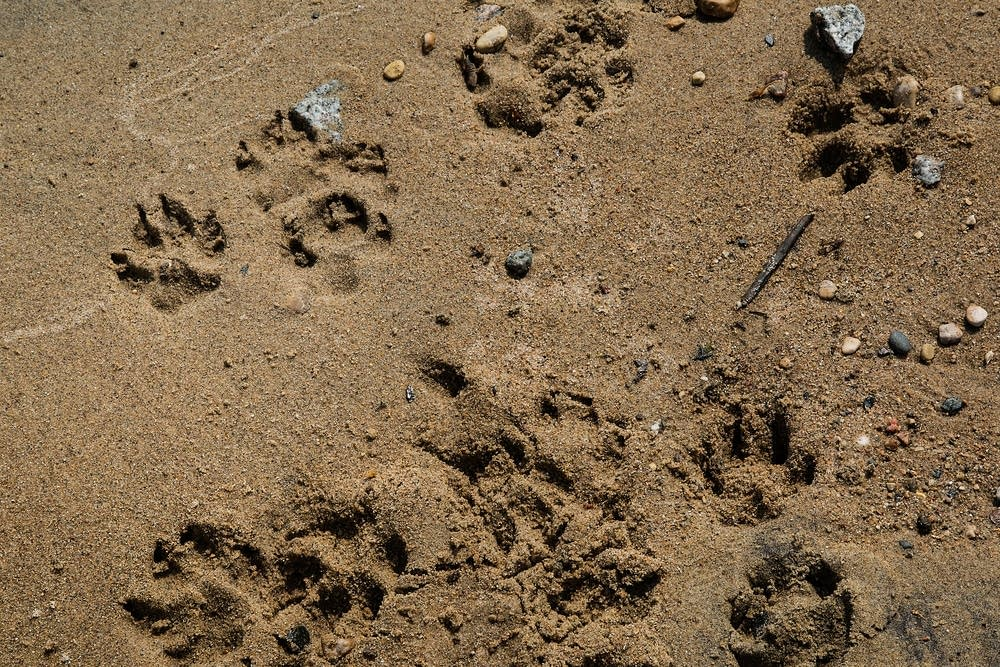 Paw prints in the sand at Lake of the Woods