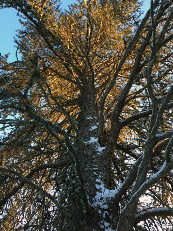 The largest known jack pine in the nation is at Voyageurs National Park.