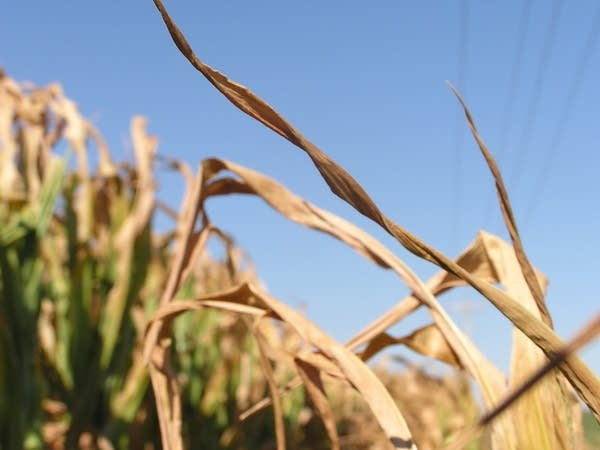 Corn turning brown