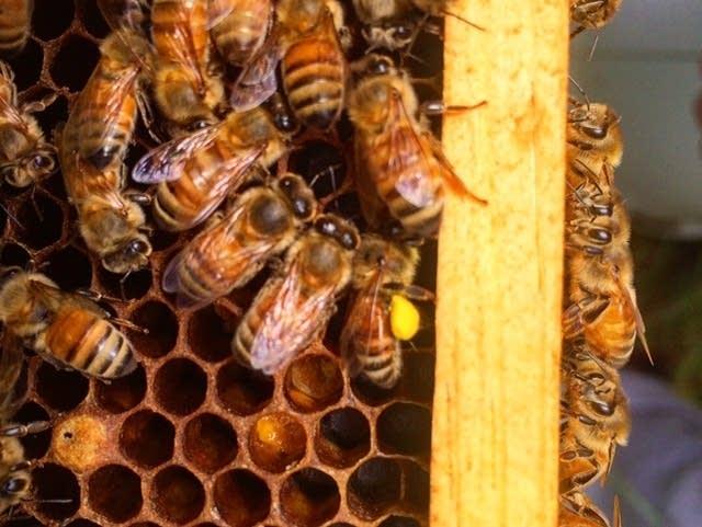 Bee-Sharp Honeybee