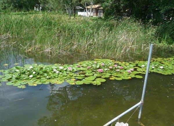 Non-native waterlilies