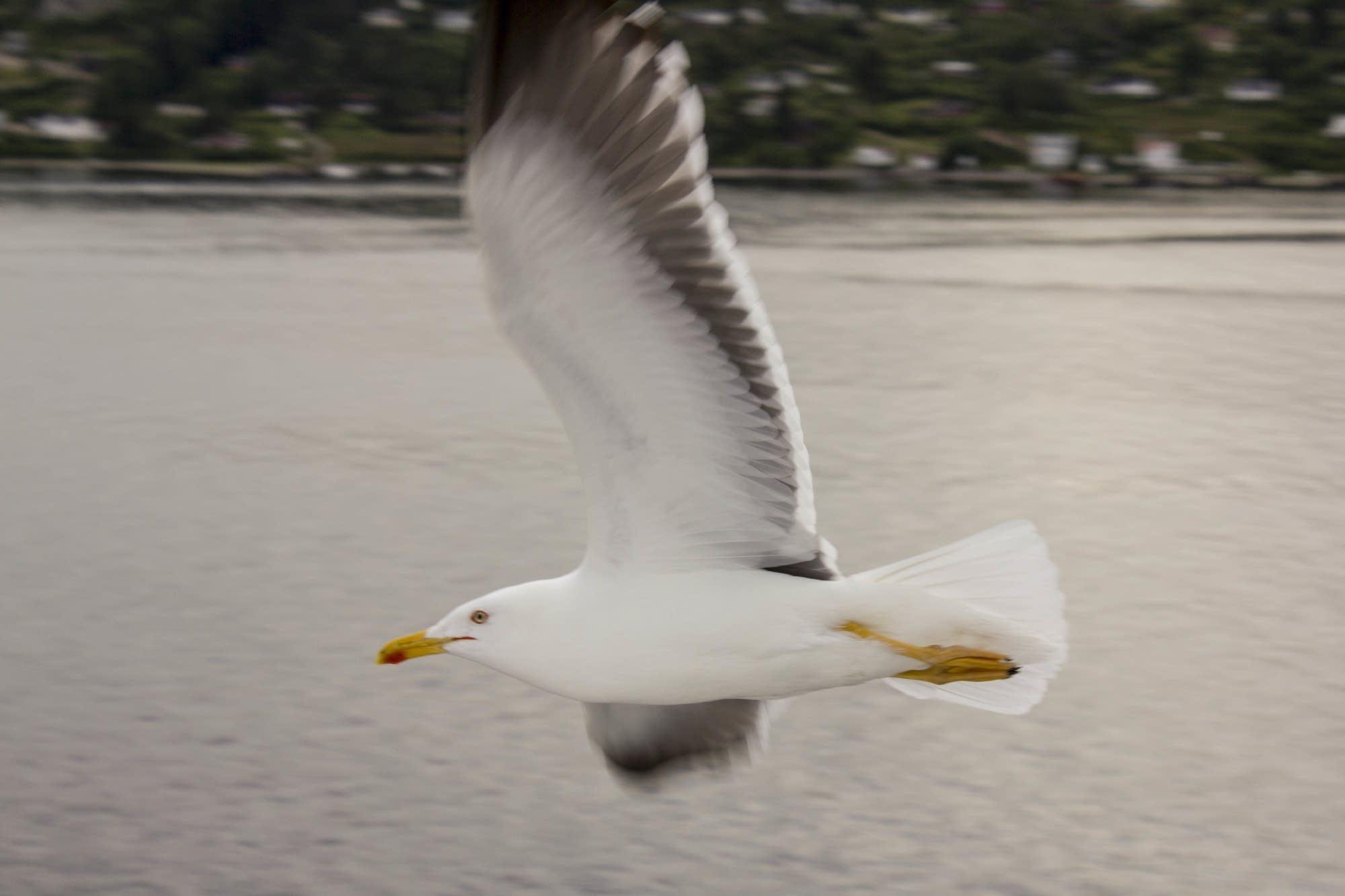 Oslo - 24 - gull in flight