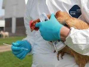 Testing a chicken for avian flu.